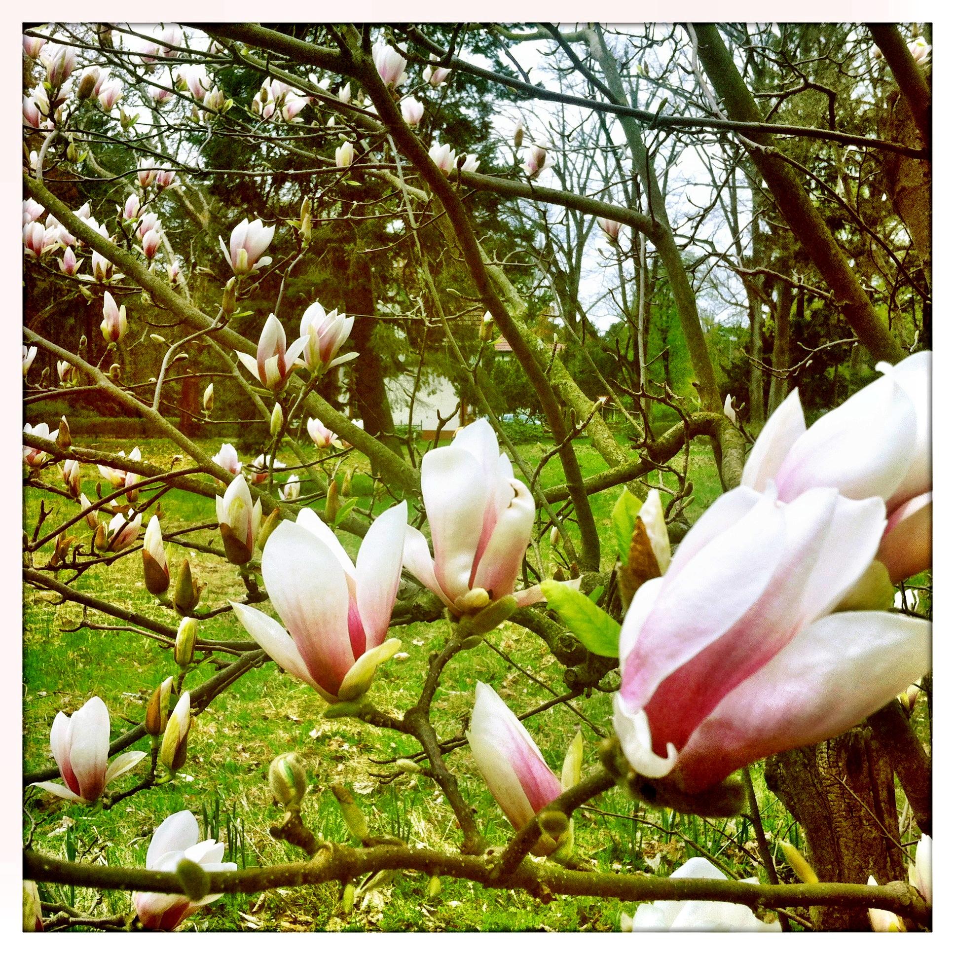 Brandenburg | Beelitz Heilstätten Frühlingsblüte