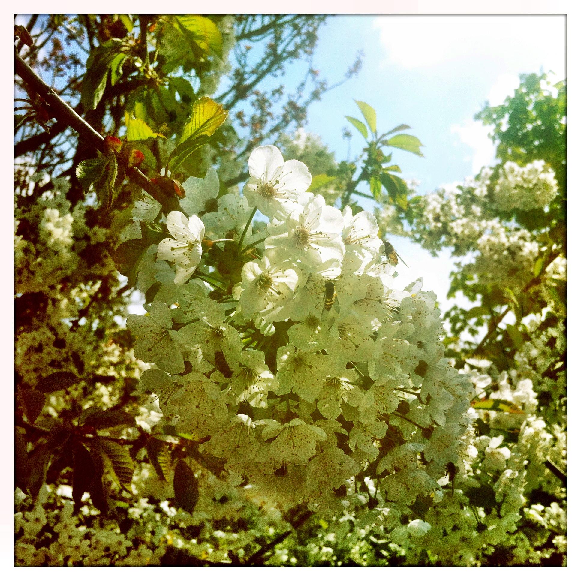 Brandenburg Beelitz | Schäpe Blütenzauber