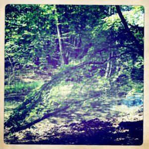 Blick in den Wald rund um den Stechlinsee