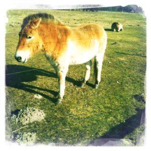 Przewalski-Pferde im Wildpark Schorfheide